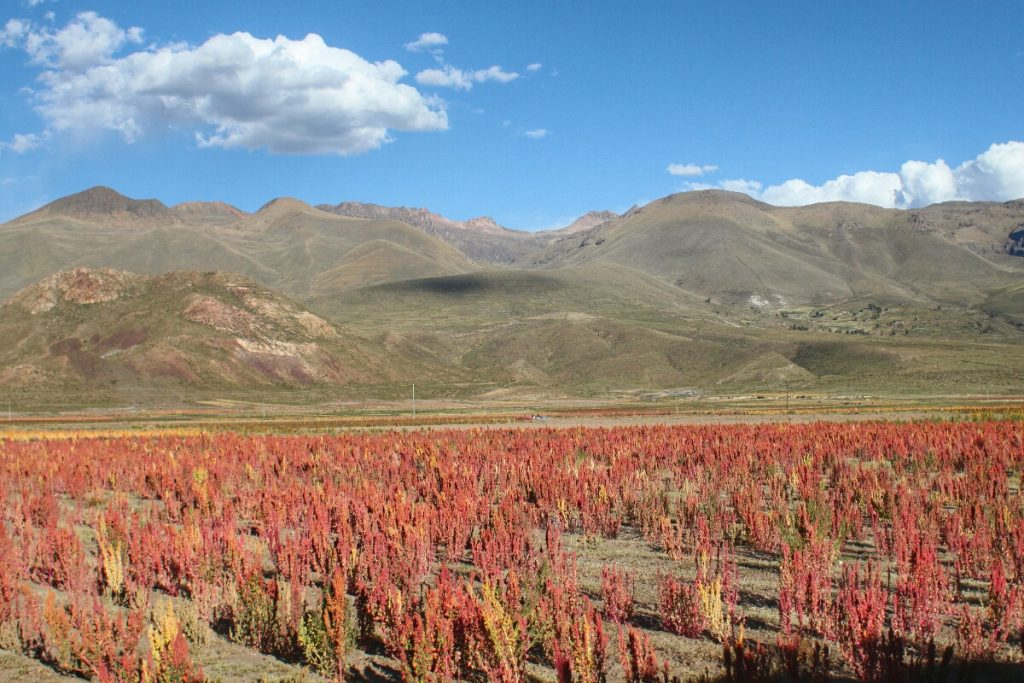 Quinoa struggling in the salty earth
