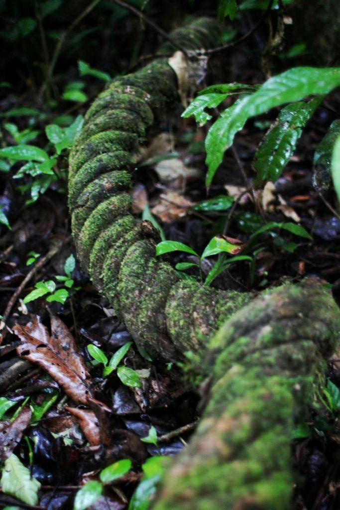 Coiled vine