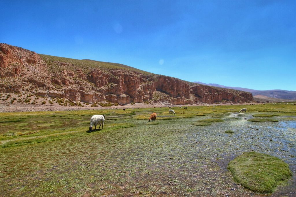 Llamas relaxing